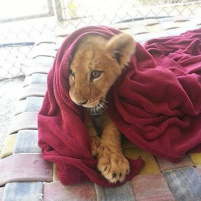 O leãozinho se apegou a cobertinha.