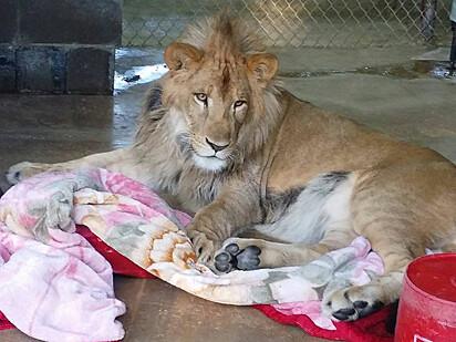 Mesmo adulto o leão não deixou de amar sua coberta.
