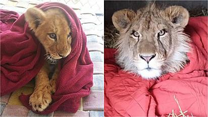 Filhote de leão adora cobertor e mesmo adulto permanece com o mesmo amor.