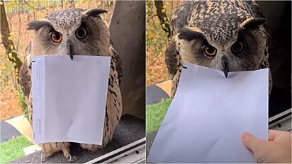 Coruja bate em janela com correspondência no bico.