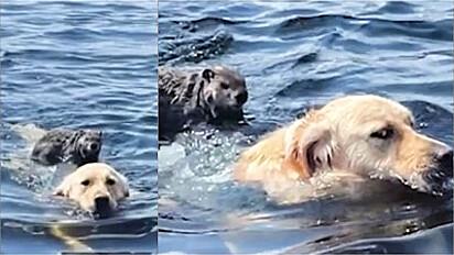 Golden retriever dá carona para marmota atravessar lago.