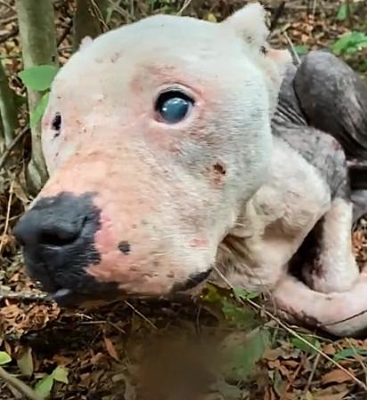 A pit bull foi encontrada em uma floresta em Mississípi.