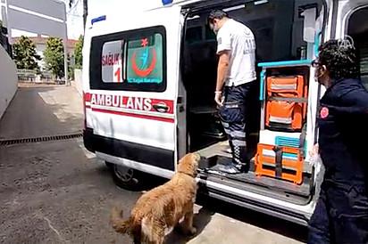 O golden retriever não teve permissão para entrar na ambulância para acompanhar a sua tutora.