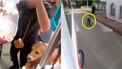 Golden retriever persegue ambulância que socorria sua tutora.
