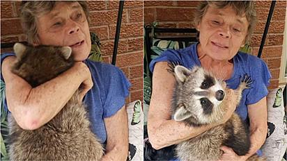 Mulher cuida de filhote de guaxinim e depois de adulto ele permanece a visitá-la em sua casa.