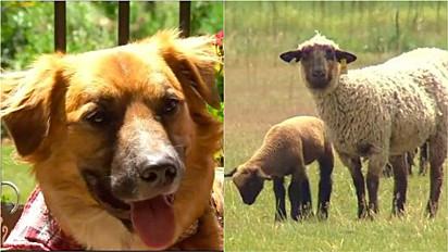 Cão arremessado de carro em acidente é encontrado dois dias depois pastoreando ovelhas em fazenda.