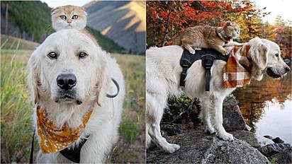 Golden retriever, introspectivo faz adorável amizade com gata e ambos vivem lindos momentos juntos.