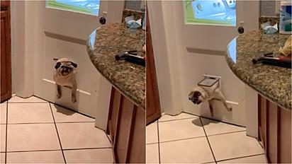 Cadela pug gordinha fica entalada em mini porta ao tentar descobrir o que família fazia.