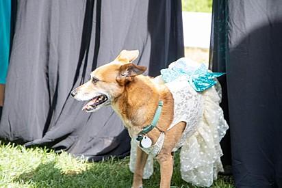 A cachorrinha estava tão linda quanto a noiva.