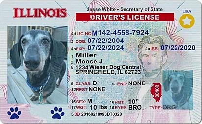 A carteira de motorista de Moose.