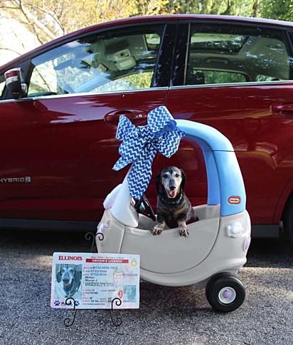 O cãozinho no seu carro novo e posando para a foto com a sua CNH.