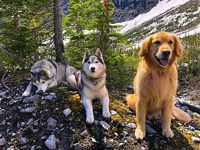 Os huskies siberianos Nico e Jackson e a golden retriever, Zoey.