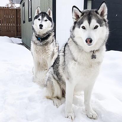 Os huskies siberianos Nico e Jackson.