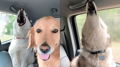 Golden retriever tem paciência e a calma para aguentar seus irmãos huskies cantando durante viagem.