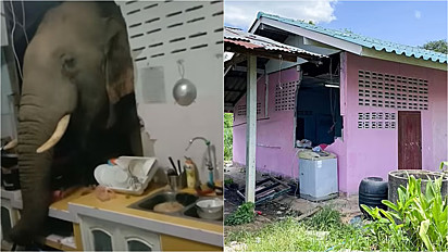 Elefante invade residência para roubar saco de arroz no sul da Tailândia.
