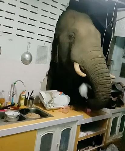 O elefante Plai Bunchuay vasculhou a cozinha atrás de comida.