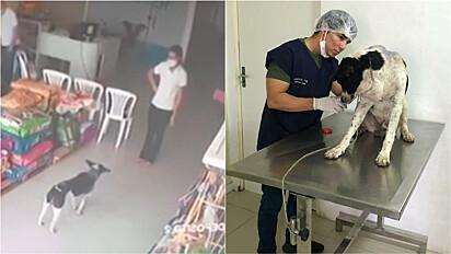 Vira-lata com ferimento grave entra em clínica veterinária para pedir ajuda.