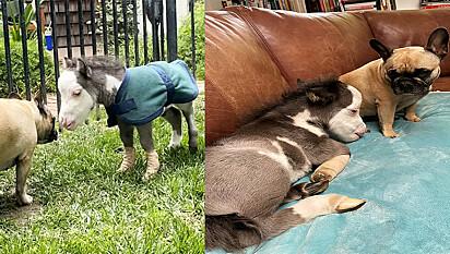 Pônei é resgatado de ser sacrificado e vive melhor vida ao lado de seus irmãos caninos.