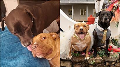 Pit bull e vira-lata se casam em linda cerimônia organizada pelos voluntários do abrigo.