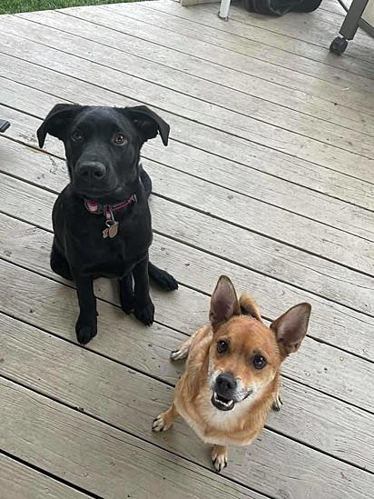 O labrador Sammy, de seis meses (à esquerda) e o Ivan Doggo (à direita).