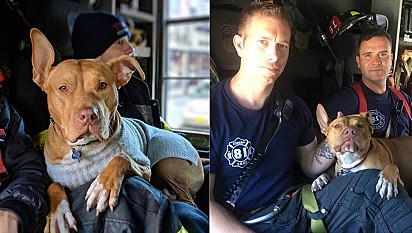 Pit bull abandonada é resgata e vive a melhor vida ao lado dos membros do corpo de bombeiros de Nova York.