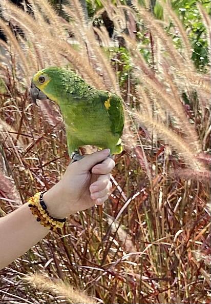 O papagaio.