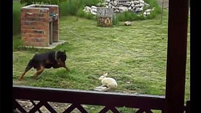 Coelho fica cara a cara com cachorro da raça rottweiler.