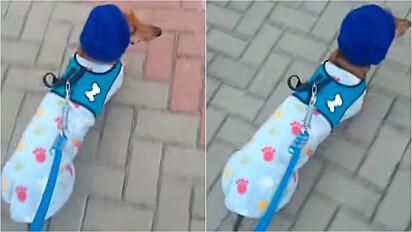 Vovó faz touca de tricô para o seu netinho dachshund não passar frio.
