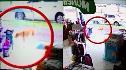 Cachorro de rua é flagrado por câmera de segurança furtando objeto em pet shop de Santa Catarina.