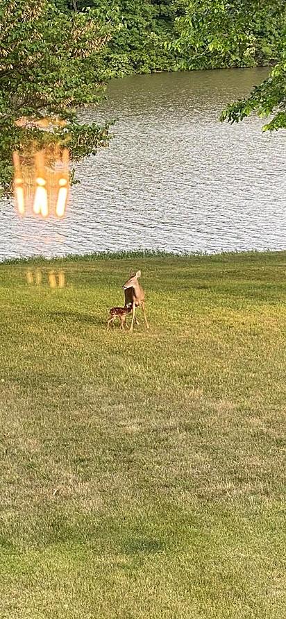 A mãe do cervo o aguardava ansiosa em terra firme.