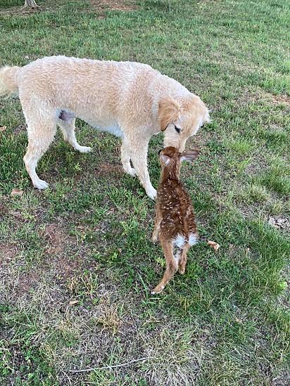 No dia seguinte o cervo voltou para agradecer o cão.