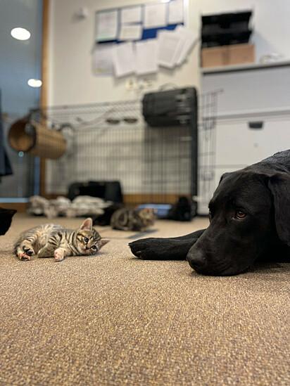 O labrador Bertie com um dos gatinhos.