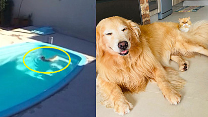 Golden retriever conduz gato a sair da piscina com a sua presença.