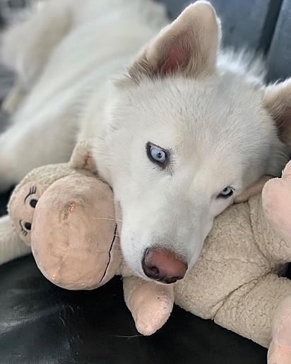 Frozen é da raça husky siberiano.