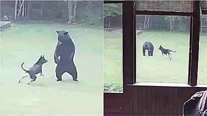Pastor alemão é flagrado brincando com filhote de urso no pátio de casa.