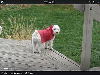 Aww! Isso é ótimo! Eu fiz capas de chuva para meus cachorros com alguns sacos de plástico!- comentário da internauta.