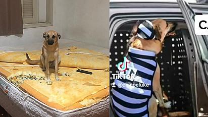 Chico, o cachorro vira-lata caramelo que viralizou após destruir colchão da dona, agora participa de vídeo de humor em que é preso.