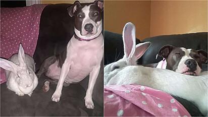 Pit bull se torna amiga inseparável de coelha gigante.
