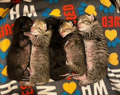 A gatinha deu à luz cinco lindos filhotes.