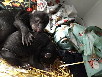 O filhote foi alocado com uma mãe adotiva e três irmãozinhos.