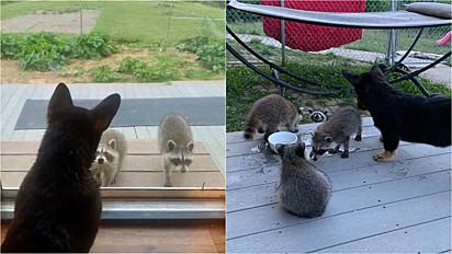 Mix de corgi, constrói linda amizade com filhotes de guaxinins e a turminha adora se divertir no quintal da casa.