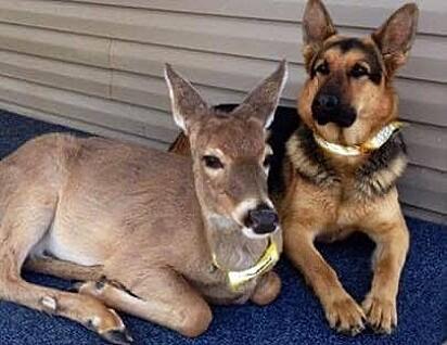 O pastor alemão Sarge adorava interagir com os cervos.