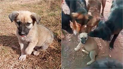 Filhote abandonado tem a melhor recepção dos cães adultos em abrigo de animais no Peru.