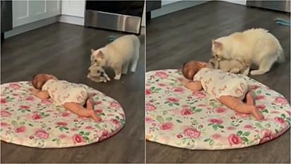 Mamãe felina leva o seu filhote para interagir com bebê humano.