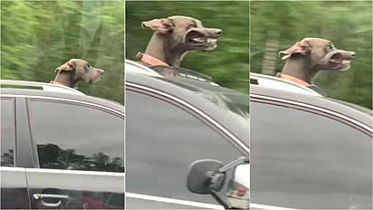 Cachorro coloca cabeça para fora de carro e vento faz com que seus dentes apareçam.