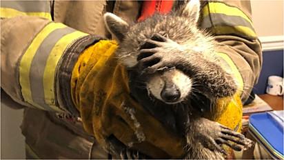 Guaxinim resgatado por bombeiros é flagrado com vergonha por causa da situação que se meteu.