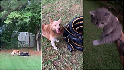 Cão não mede esforços para avisar dono que encontrou uma gatinha dentro da mangueira.