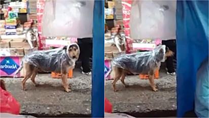 Cachorro é visto com capa de chuva improvisada para se proteger.