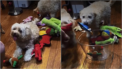 Cães são treinados pelo seu tutor a guardarem os brinquedos após o uso.