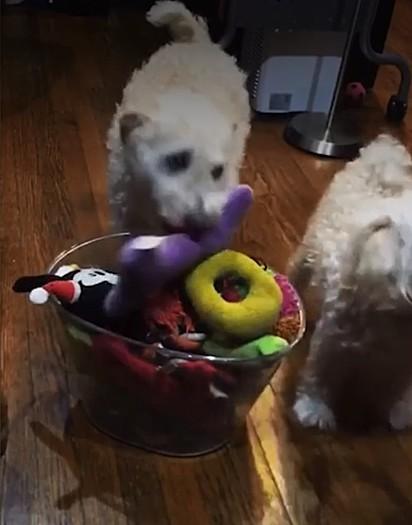 Os cachorrinhos foram treinados para guardarem os seus brinquedos.